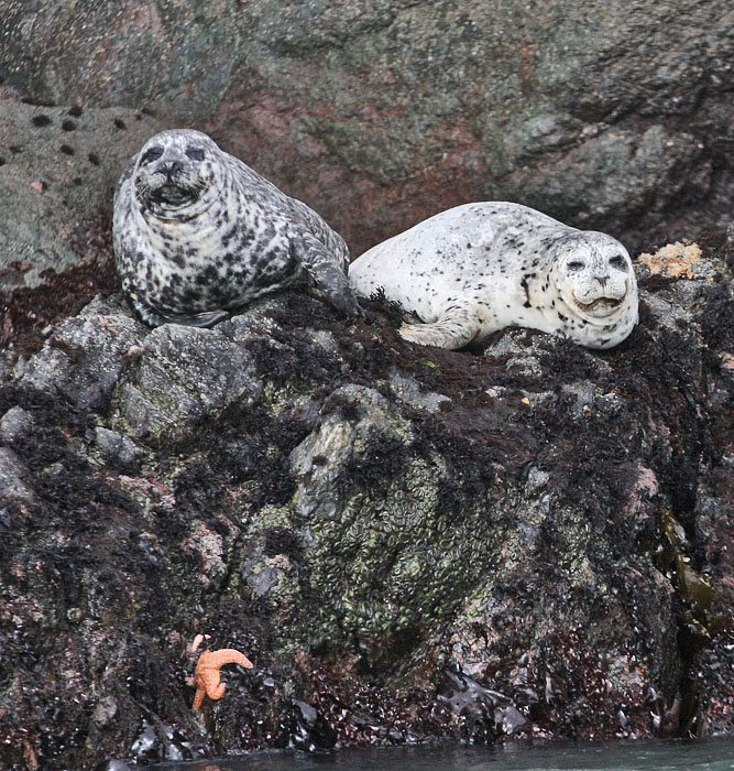 Harbor Seals at the Farallon Islands by Glen Tepke