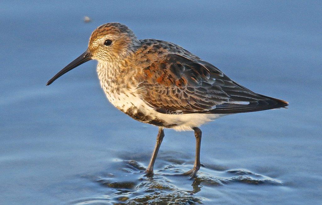 Dunlin in breeding plumage by Miya Lucas
