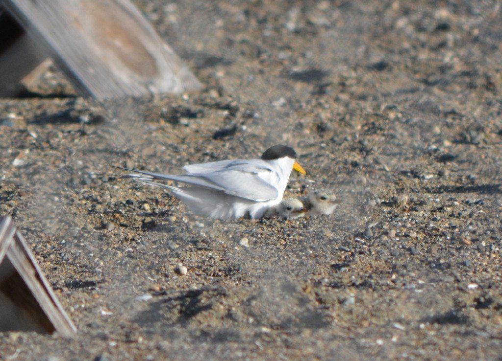 California Least Tern and chick in Alameda in June 2014, viewed through fence around the reserve / Photo by Richard Bangert