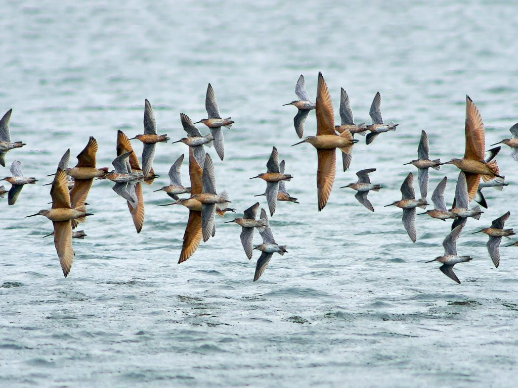Marbled Godwits and Dowitchers in flight by Verne Nelson. This photo will be the January image in our 2016 Birds of the SF Bay Area calendar, on sale in September!