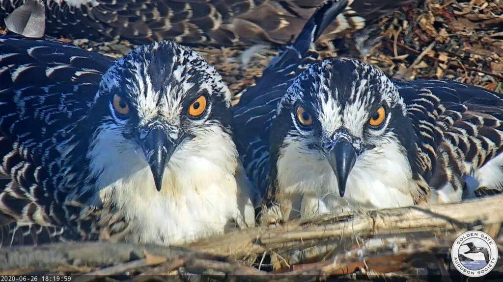 Osprey nestlings