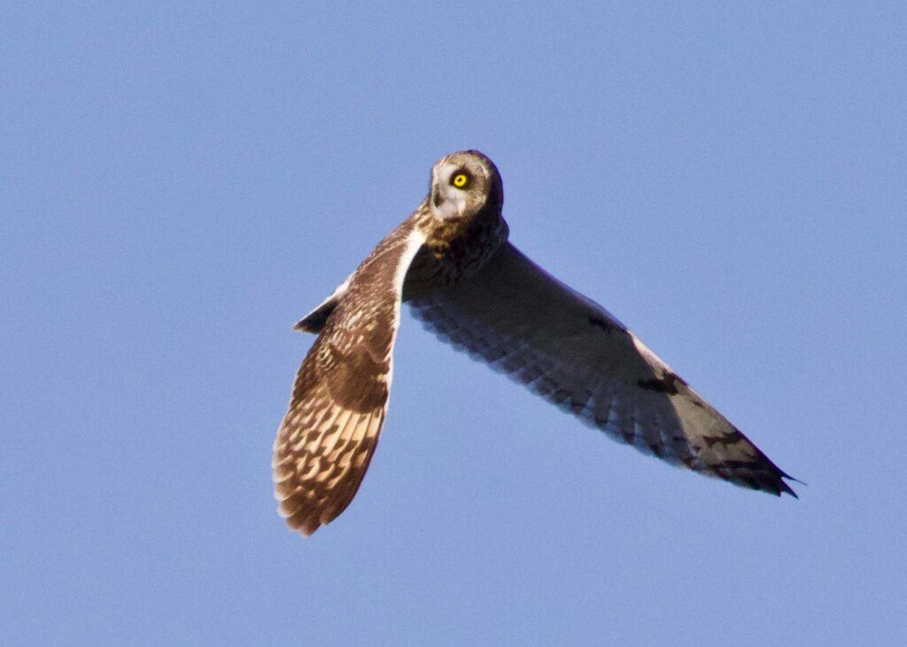 Short-eared Owl at Battery Godfrey