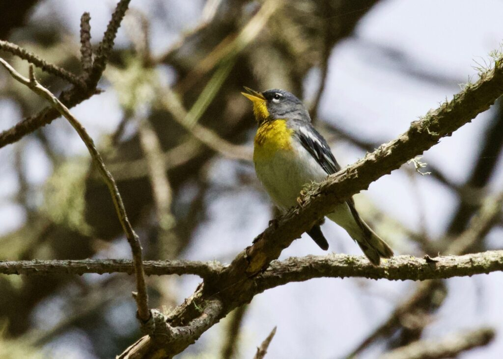 Northern Parula at Fort Miley