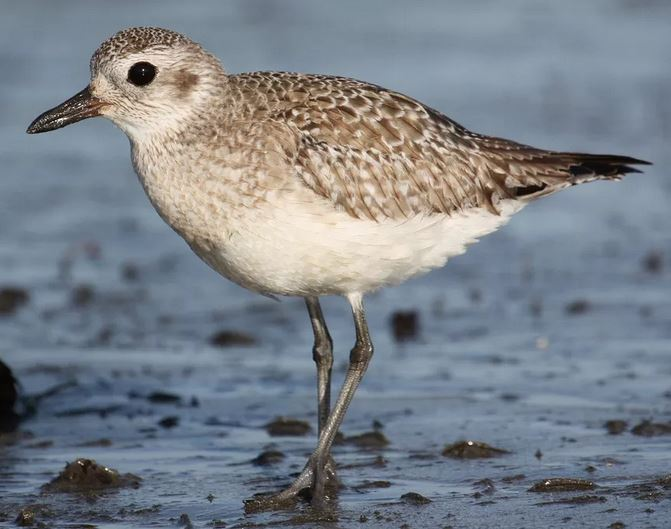Black-bellied Plover in winter plumage, by Jason Crotty
