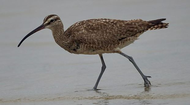 Whimbrel by Mike's Birds