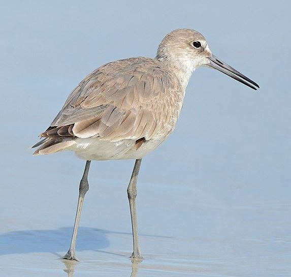 Willet by V.J. Anderson