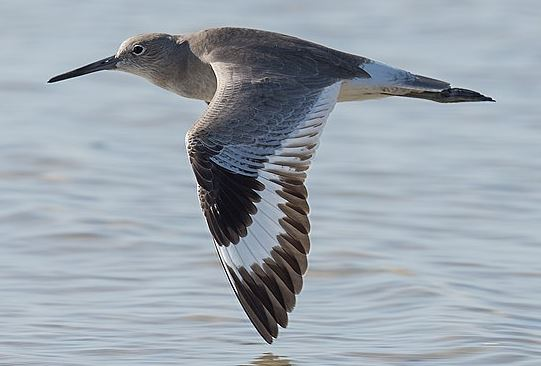 Willet in flight, with white wing stripe, by Russ Whitehurst