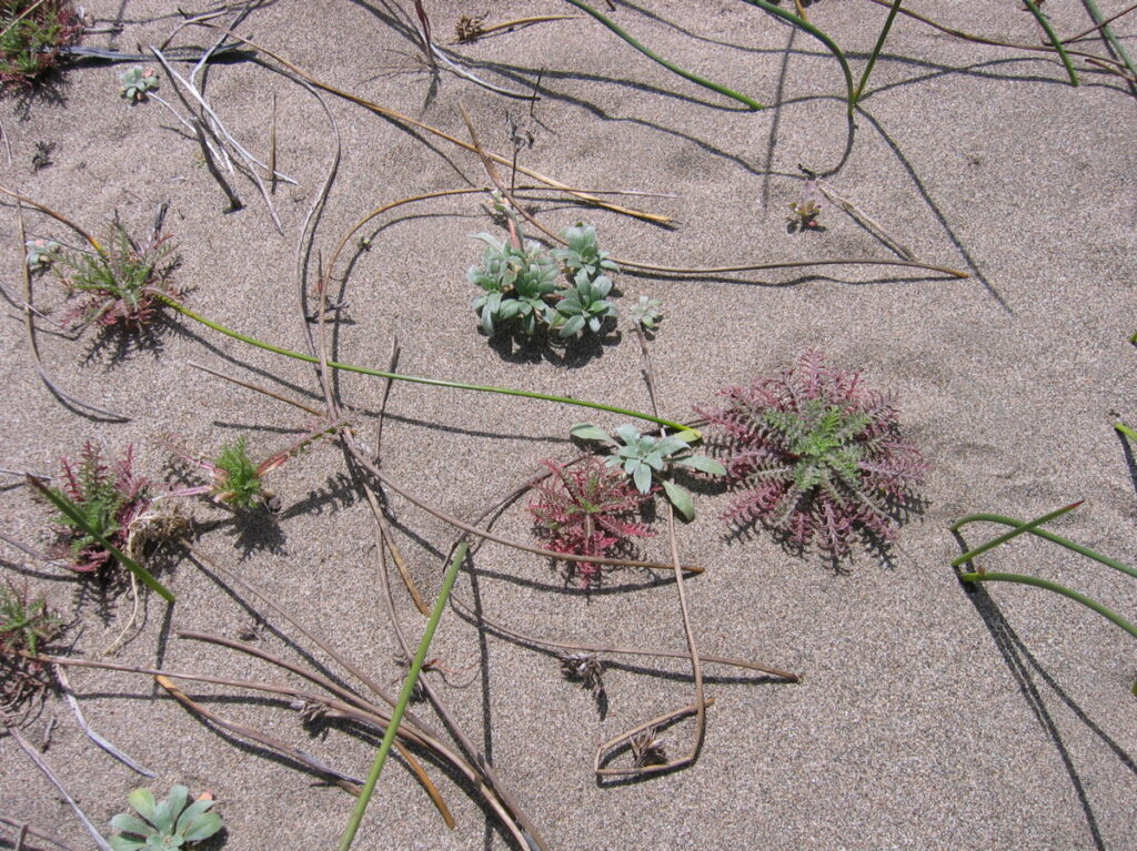 Dune plants at Toms Point