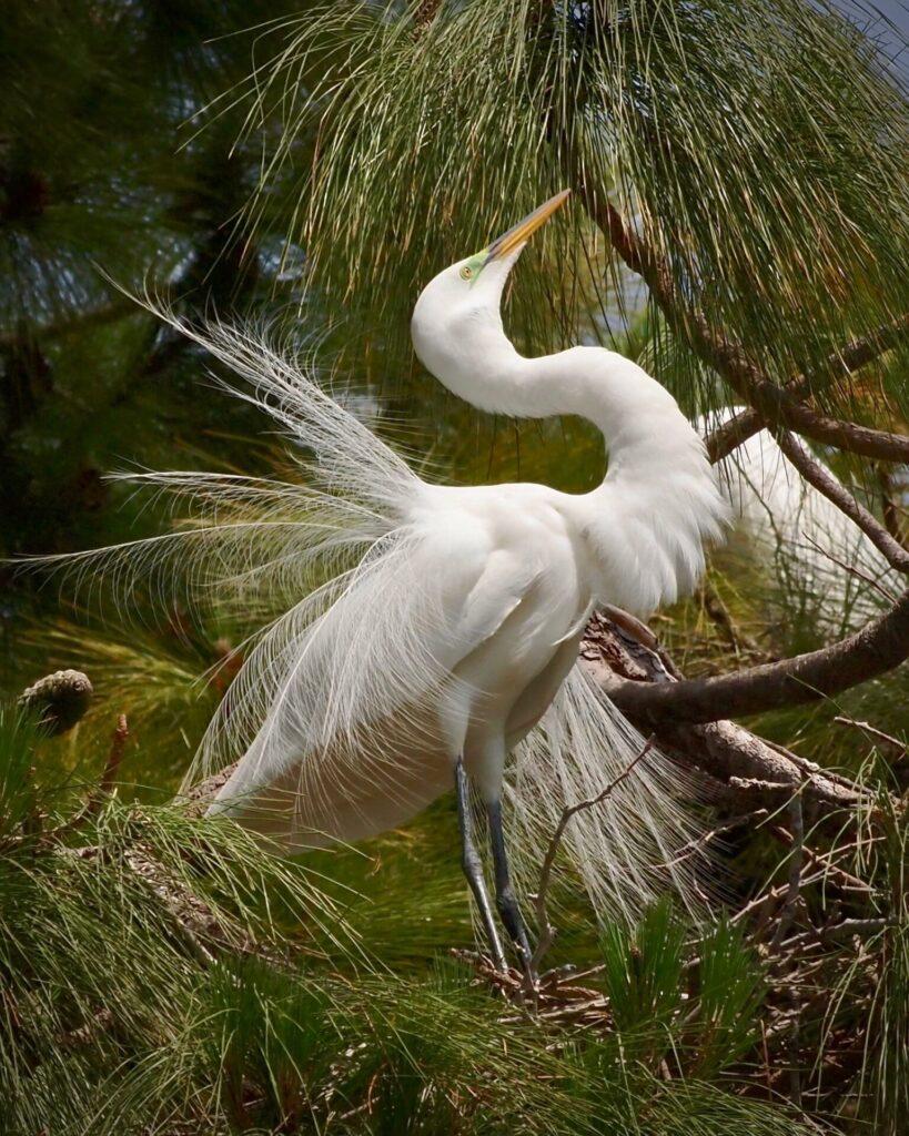 Great Egret looking skyward