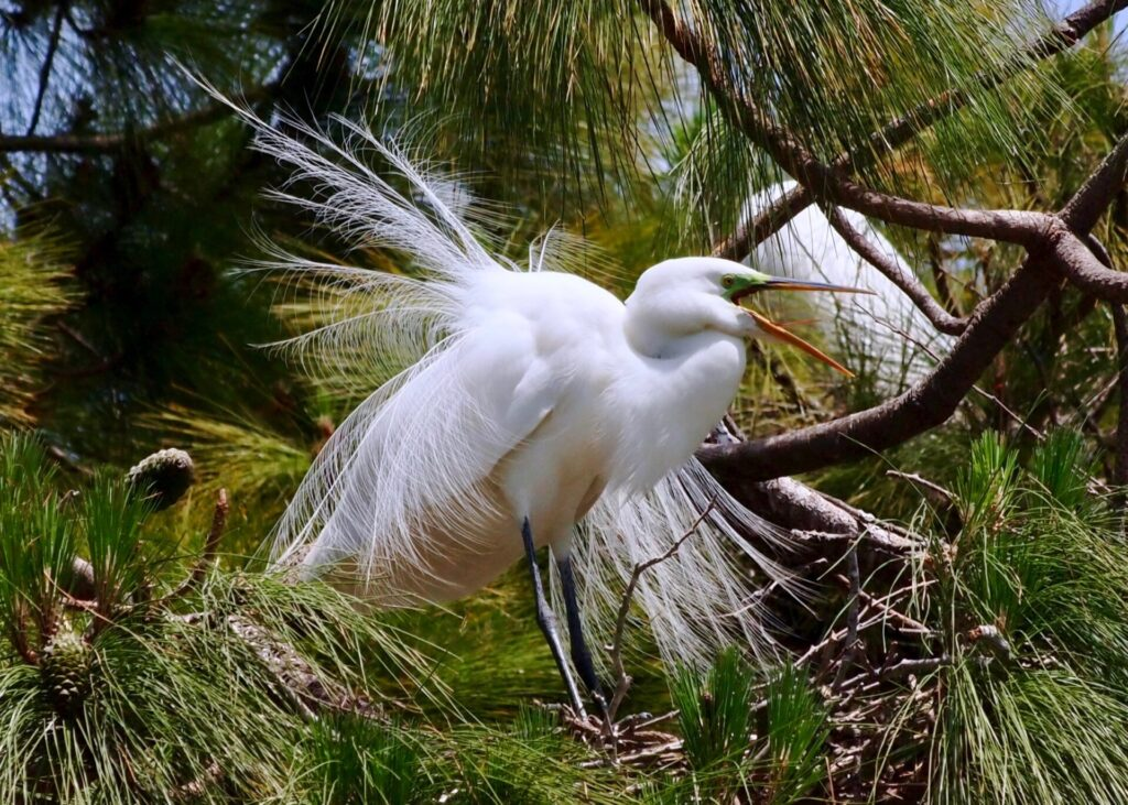 Great Egret vocalizing