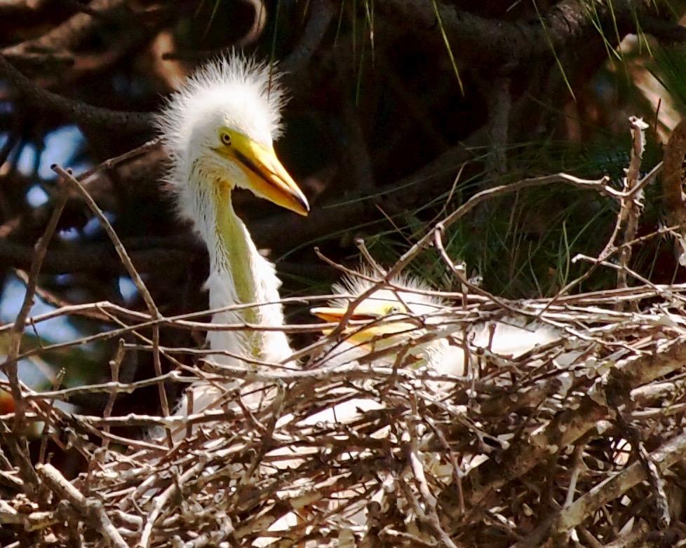 Egret chick