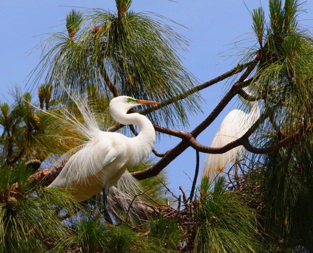 Adult egret pair