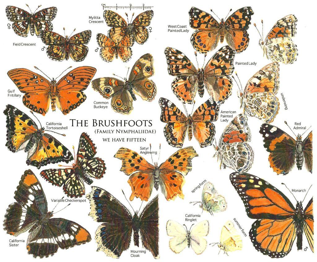 Brushfoot butterflies
