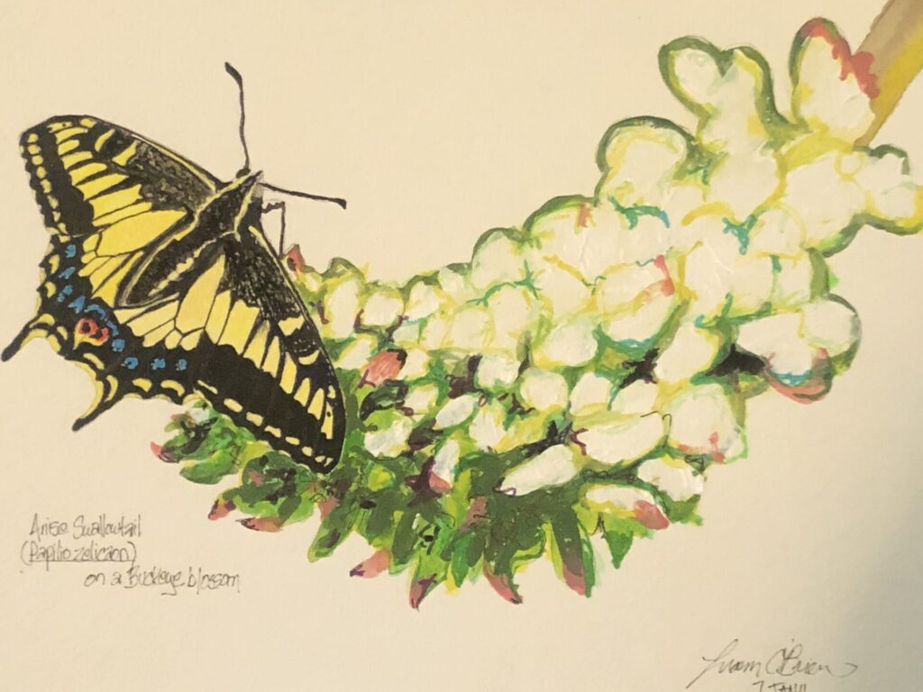 Anise Swallowtail drawing