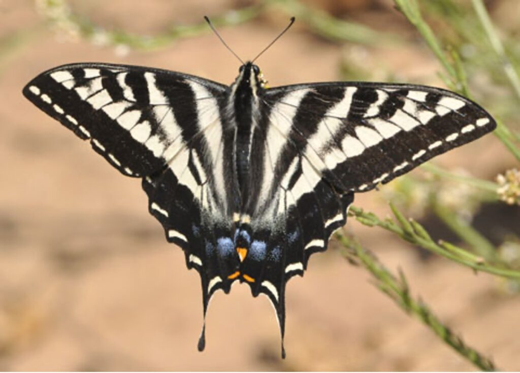 Pale Tiger Swallowtail butterfly on Mount Sutro