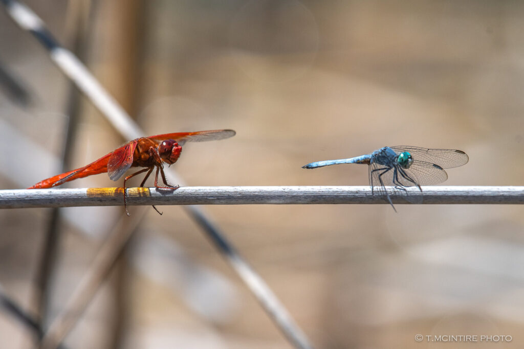 Flame skimmer and Blue dasher dragonflies