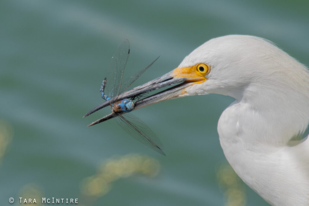 Snowy Egret with dragonfly