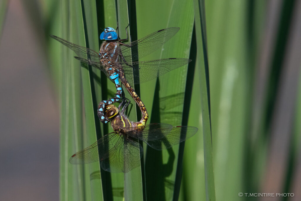 Mating blue-eyed darners