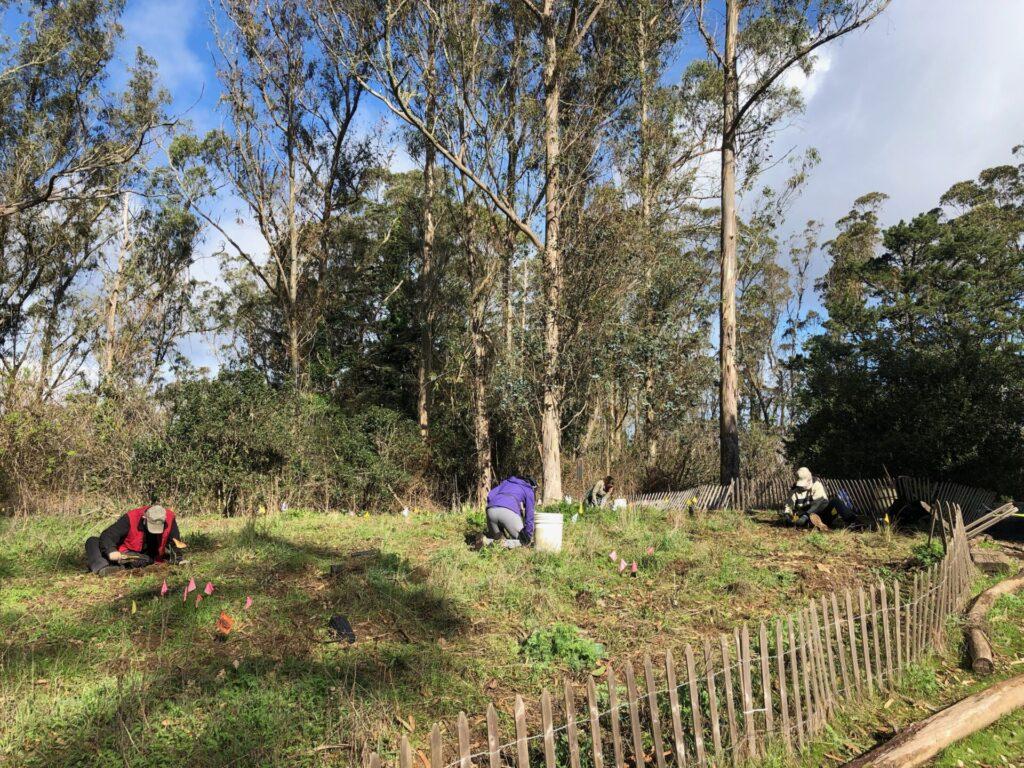 Volunteers planting at Mount Sutro's Rotary Meadow