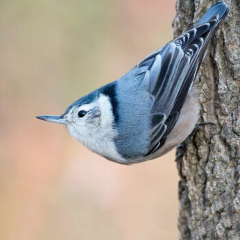 White-breasted Nuthatch by Joseph Mahoney