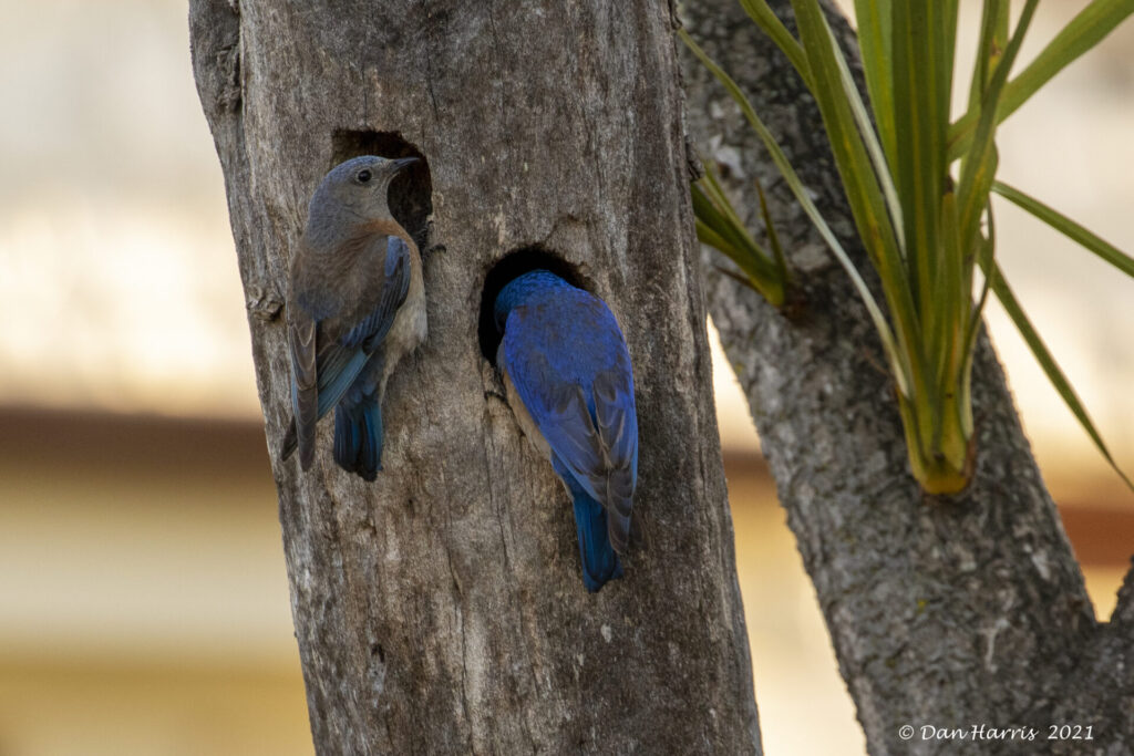 Western Bluebirds at Fort Mason during the Christmas-in-May Count, by fundraising award winner Dan Harris