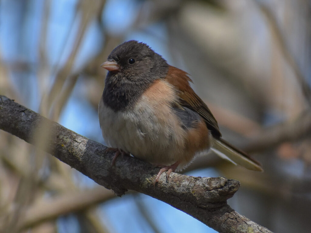 Dark-eyed Junco at Fort Funston during Chtistmas-in-May Bird Count, by Kaitlin Magoon