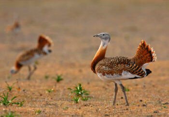 Greater Bustard by Pedro Marques