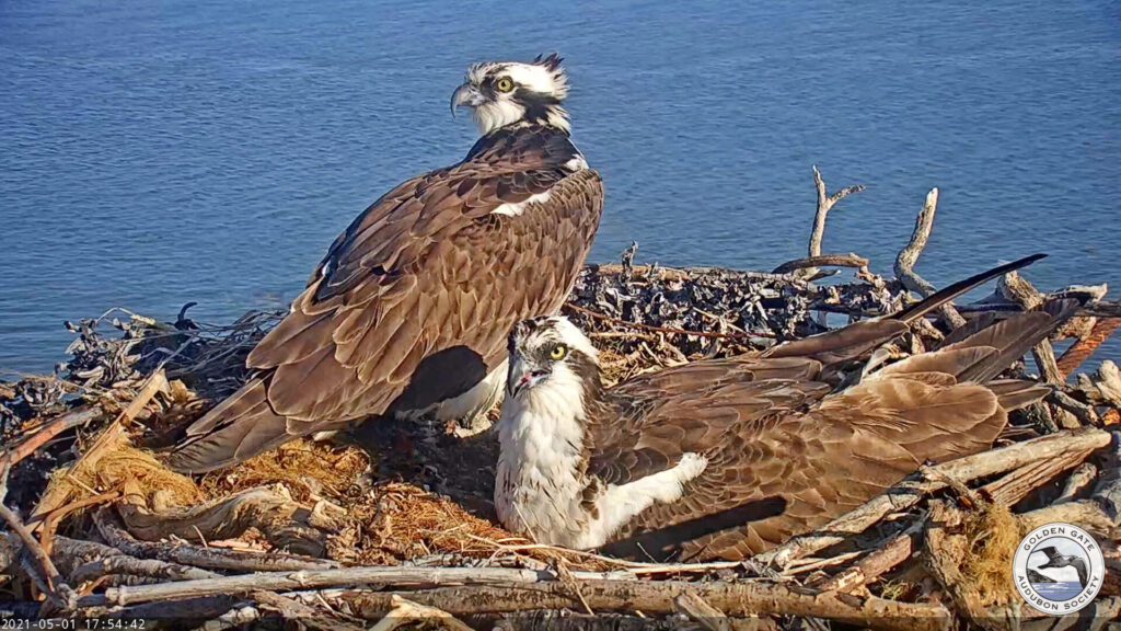 Rose and Richmond on the nest