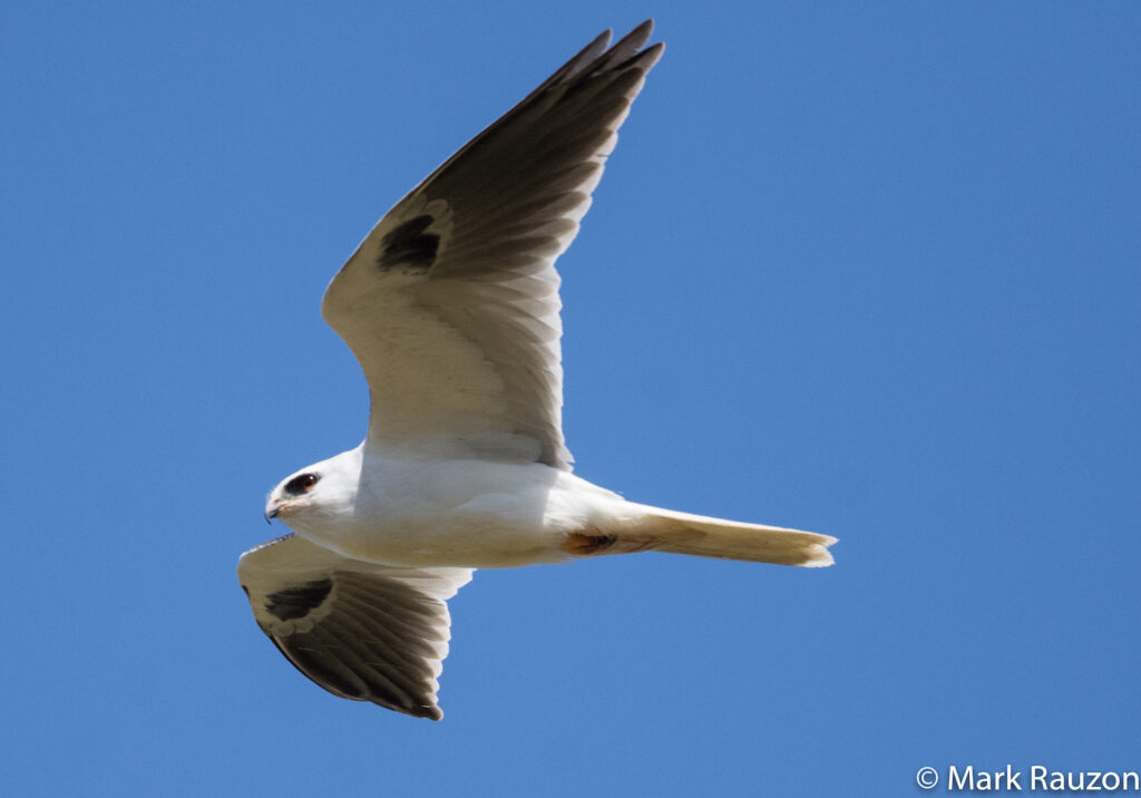White-tailed Kite during the Oakland Christmas-in-May Bird Count, by Mark Rauzon