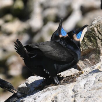 Brandt's Cormorants on the Farallon Islands by Michael Pierson