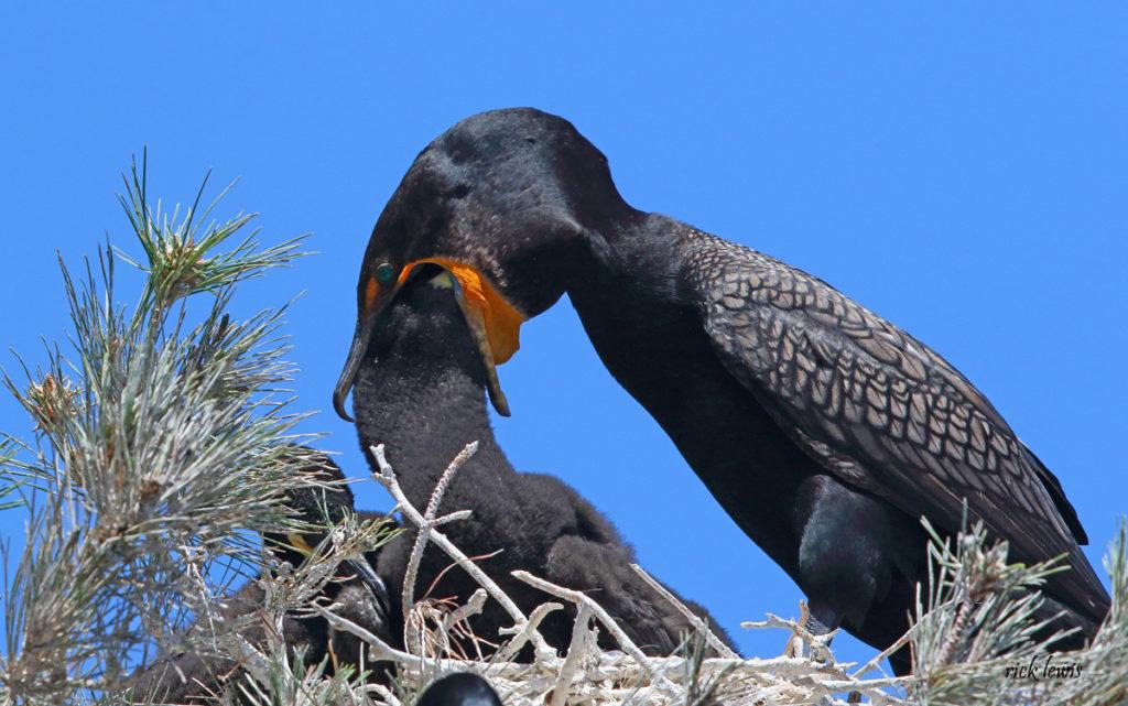 Cormorant feeding young