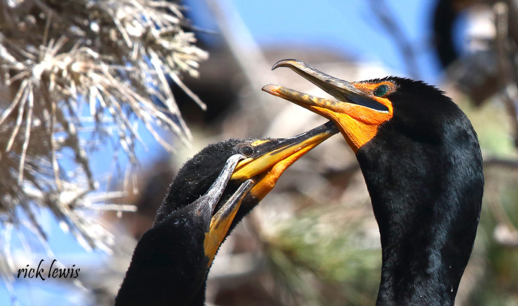 Young cormorant seeking food from adult