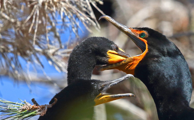 Young cormorant eating from bill of adult