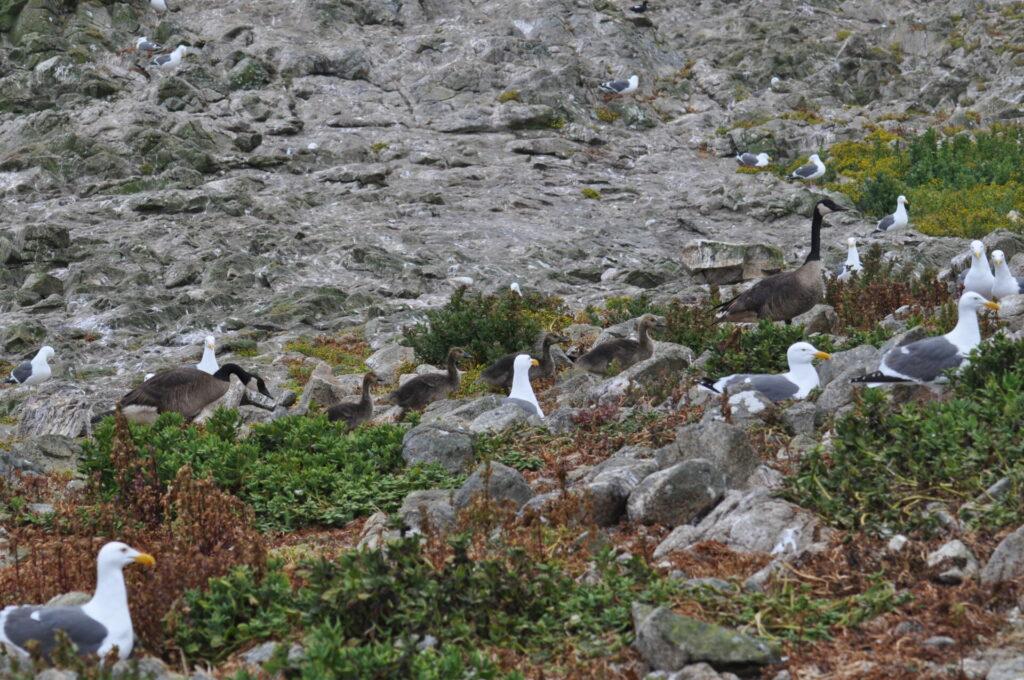 Nesting Gulls on the Farallones