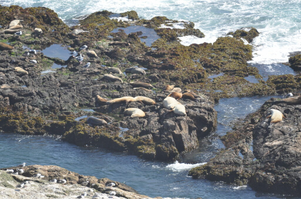 Marine mammals on the Farallones