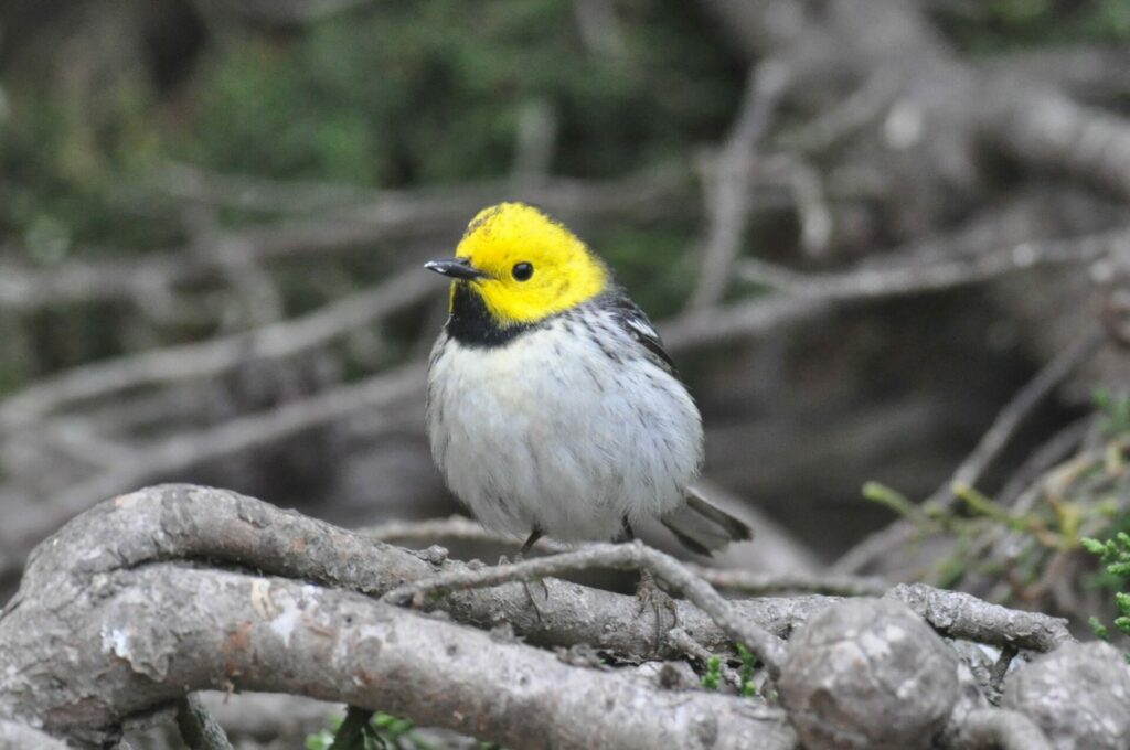 Vagrant male Hermit Warbler on the Farallones by Michael Pierson