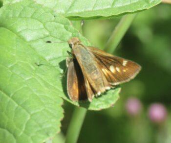 Umber Skipper butterfly