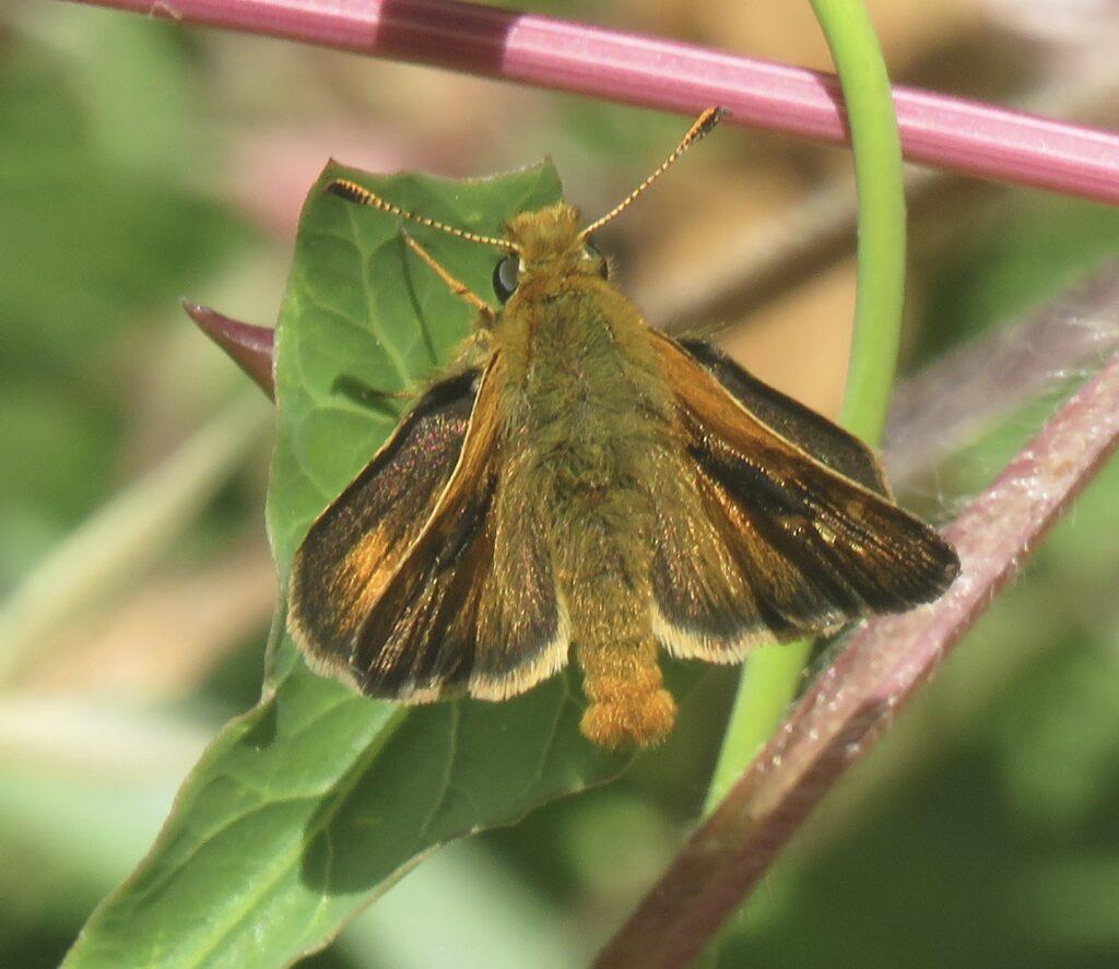 Rural Skipper butterfly