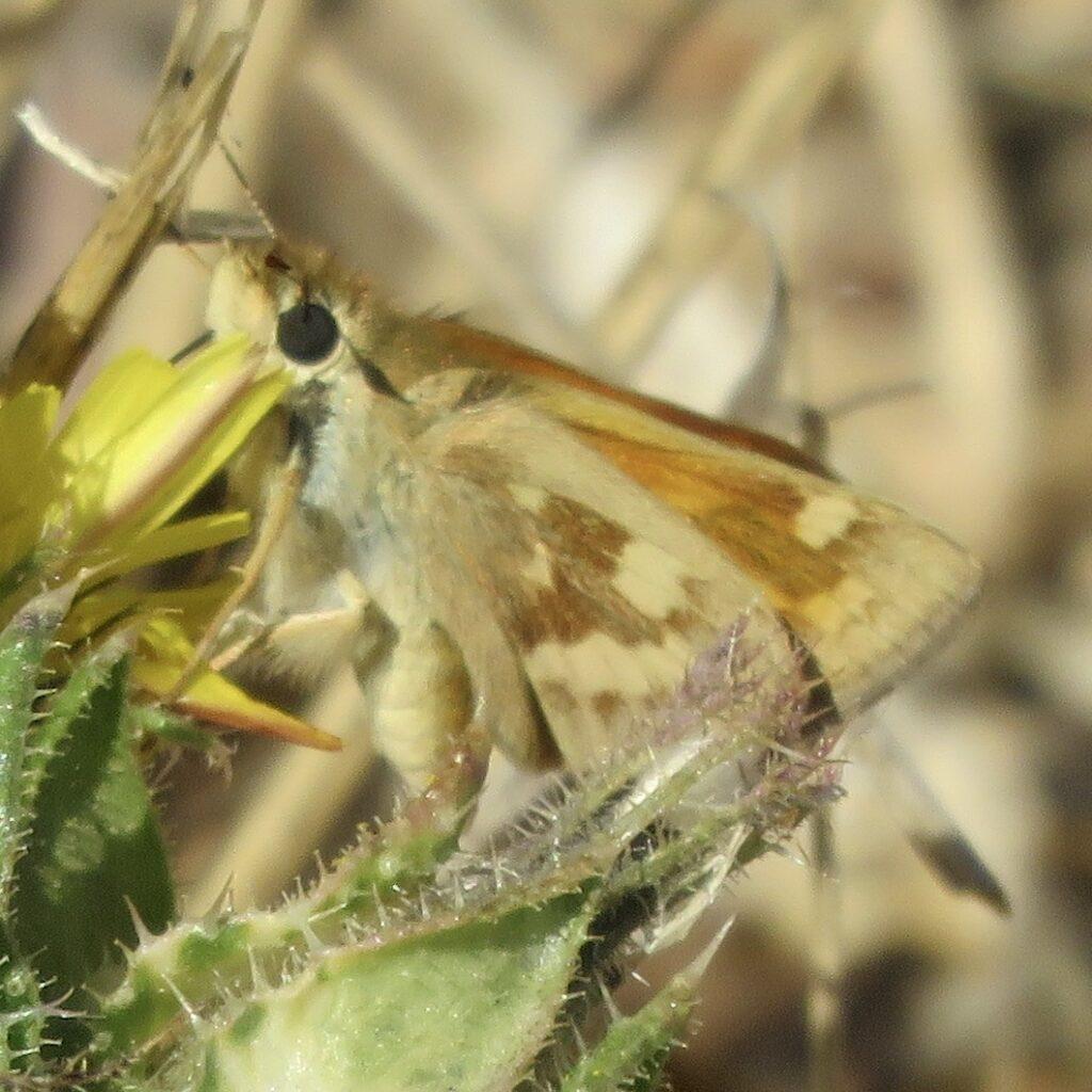 Woodland Skipper butterfly