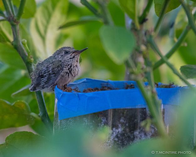Hummingbird nestling on edge of nest