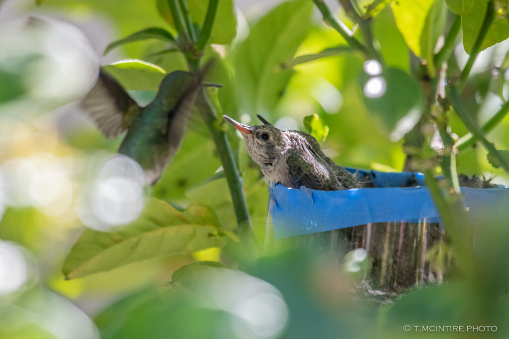 Hummingbird feeding nestlings