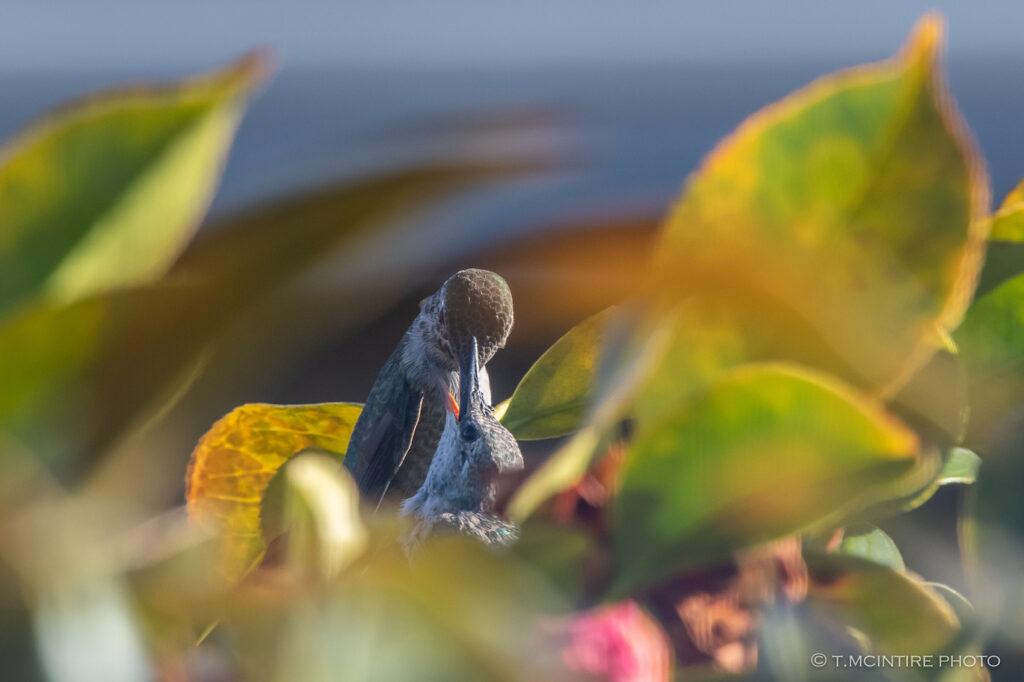 Adult hummingbird feeding young