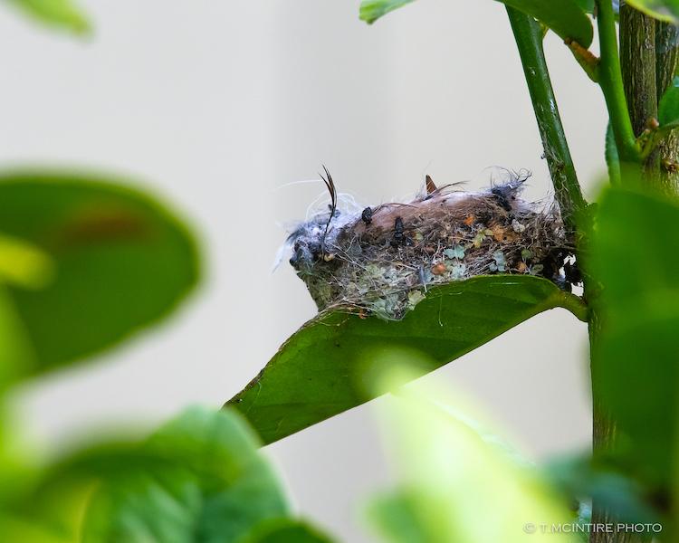Hummingbird chick