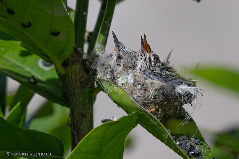 Two hummingbird nestlings