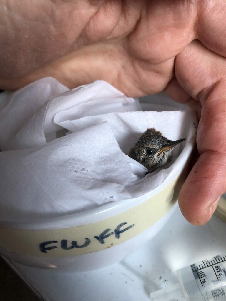 Hummingbird in bowl