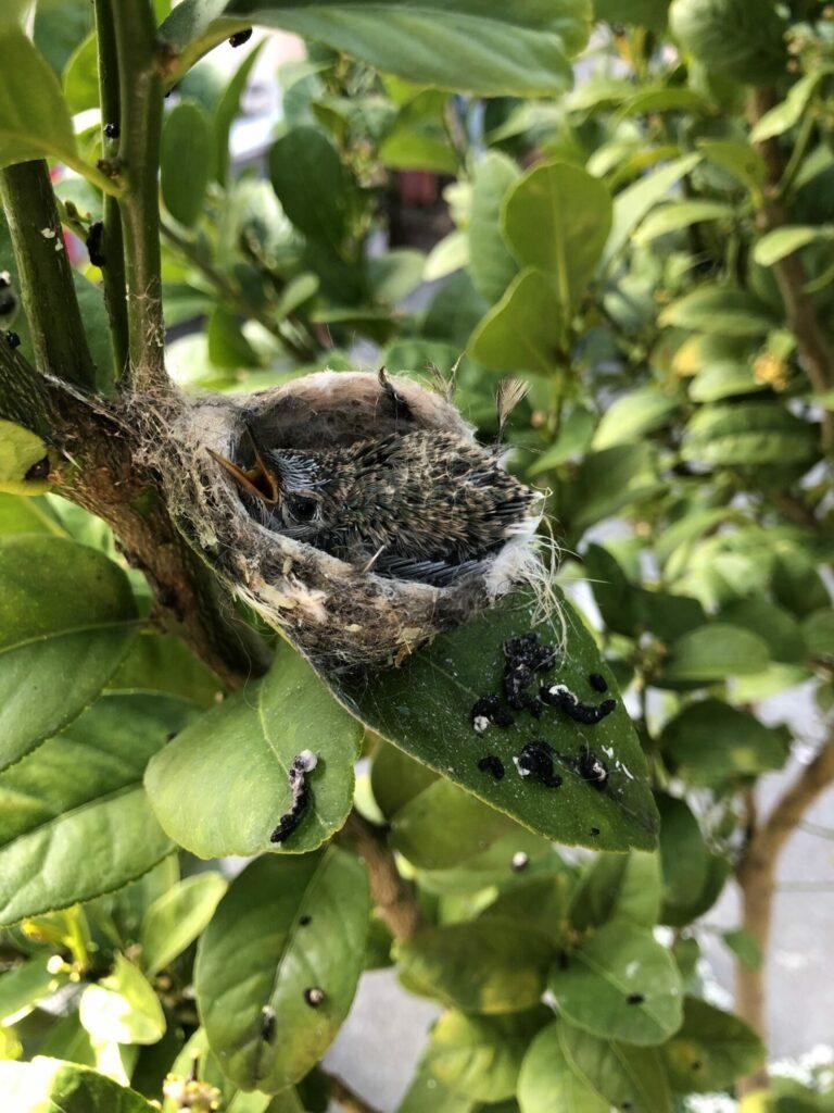 Hummingbird nestling