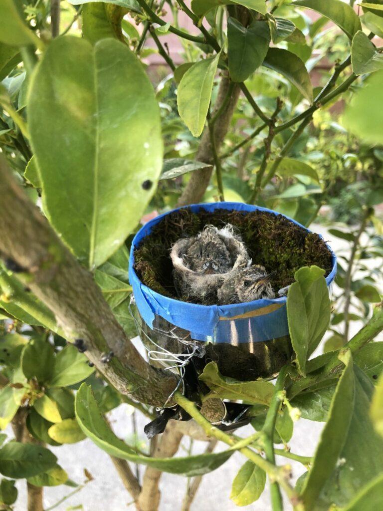 Hummingbirds in homemade nest