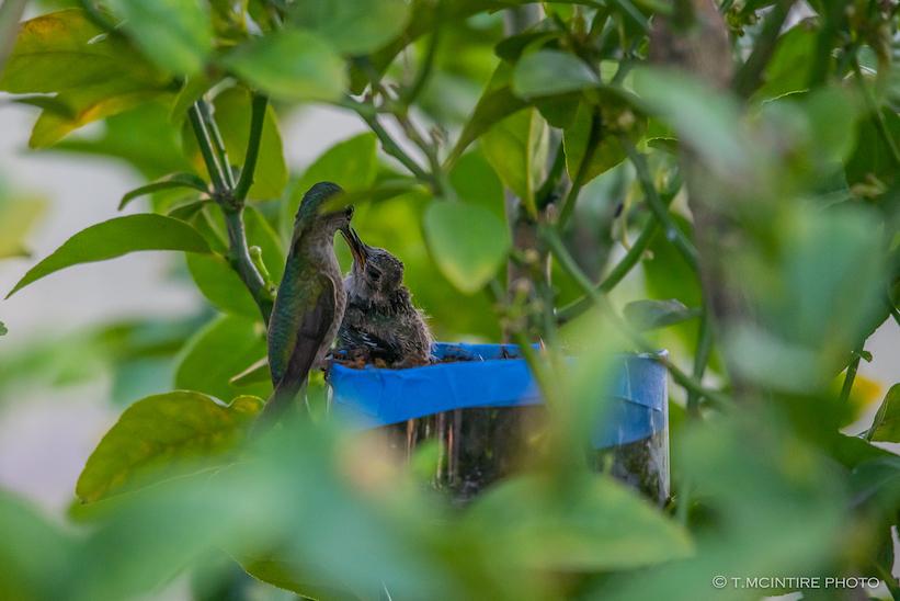 Mother hummingbird feeding young