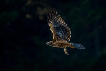 Red-tailed Hawk in flight