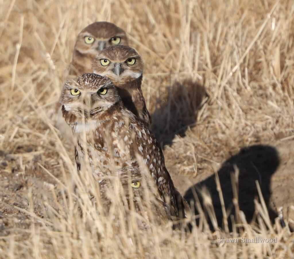 Burrowing Owl nest by Shawn Smallwood